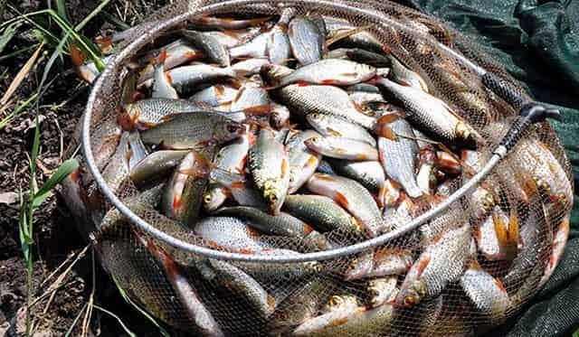 Успешная ловля мирной белой рыбы