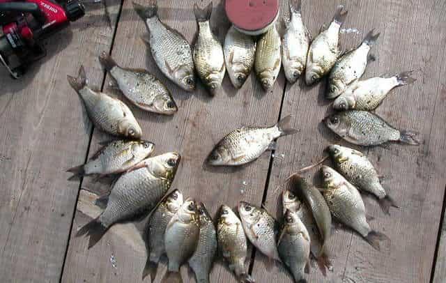 Отличный улов карасей на прикормку