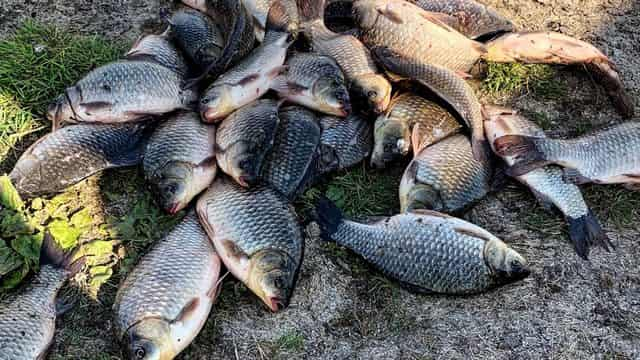 Рыбалка на чесночную закуску с салом
